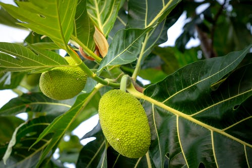 Green Fruit on Tree