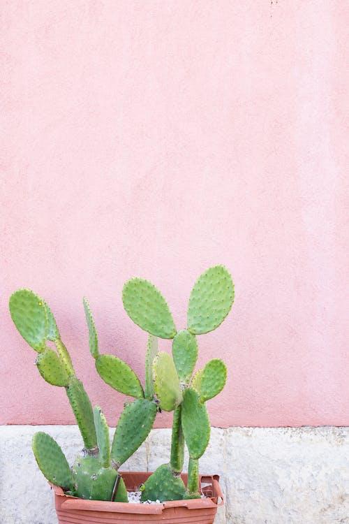 仙人掌, 仙人掌植物, 增長, 尖 的 免費圖庫相片