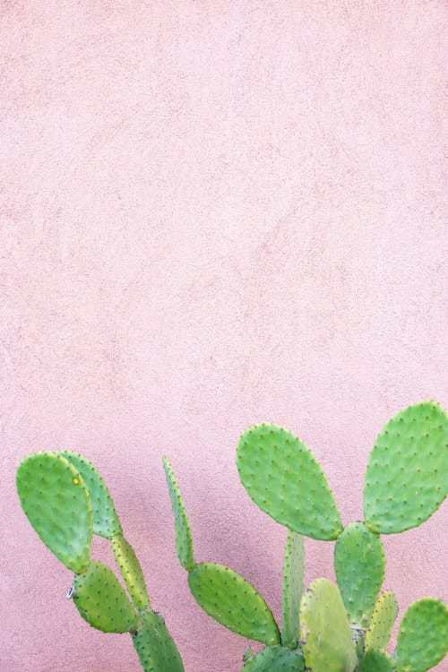 Green Cactus Beside Pink Wall