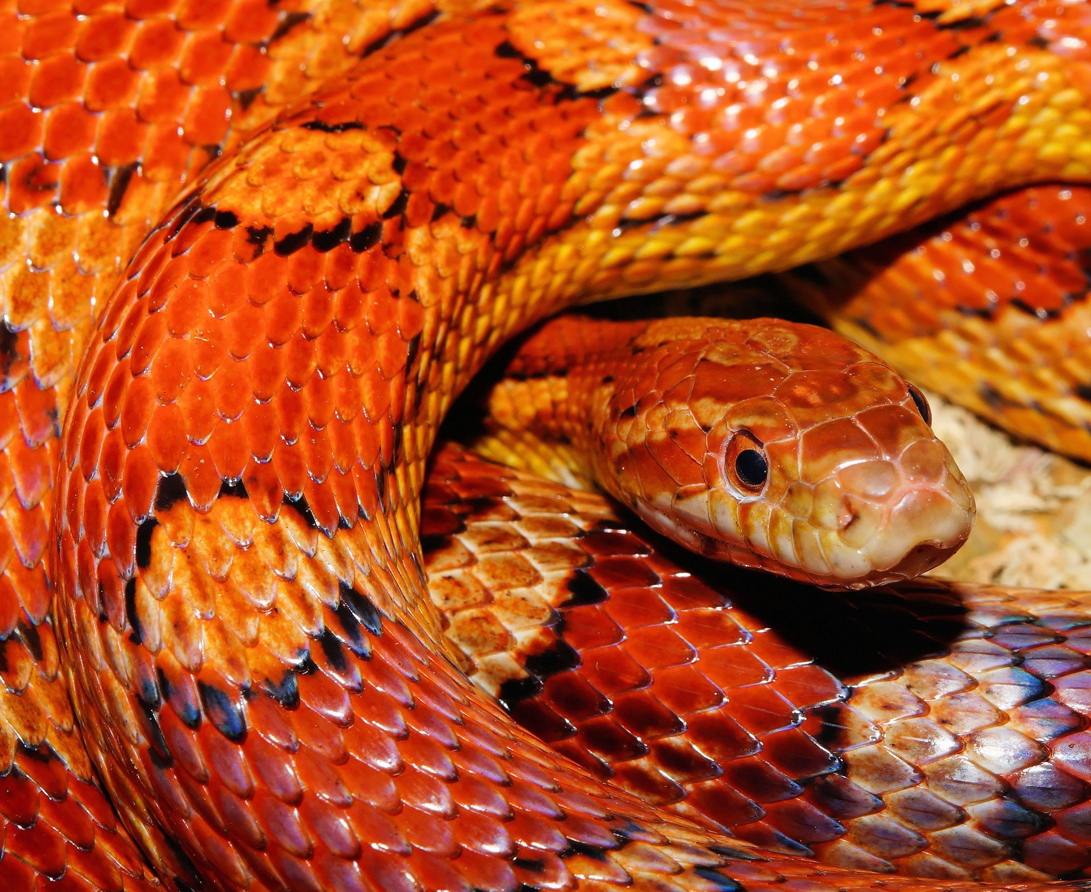 Orange and Yellow Snake