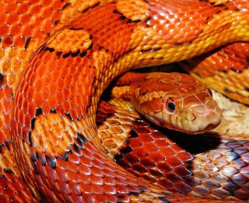 Kostnadsfri bild av majsorm, närbild, orm, vilda djur och växter