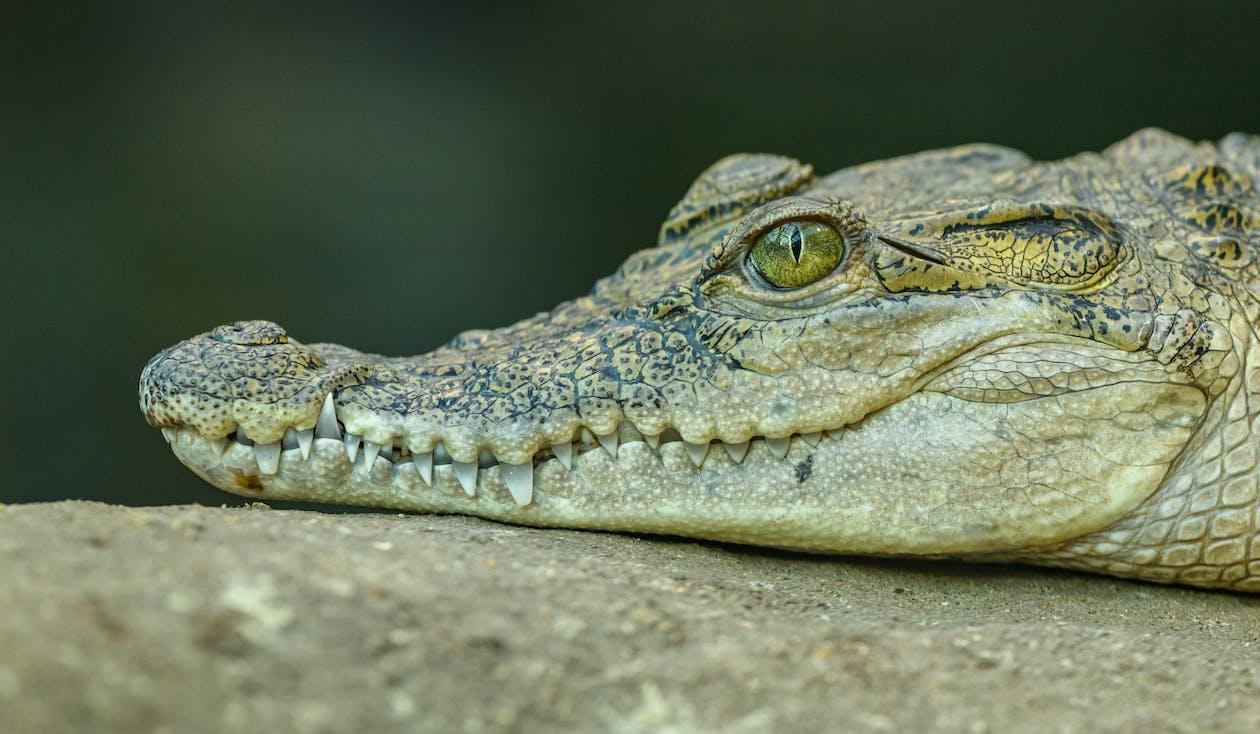 Brown Crocodile on Concrete Ground