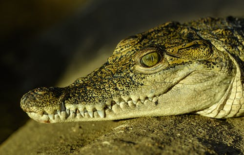 Brown Crocodile Lying on Ground