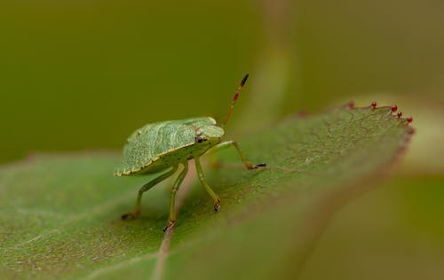 Green Bug on Green Leaf in Macro Photography