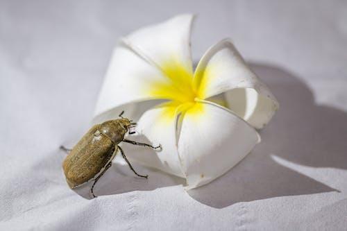 Brown Beetle on White Flower