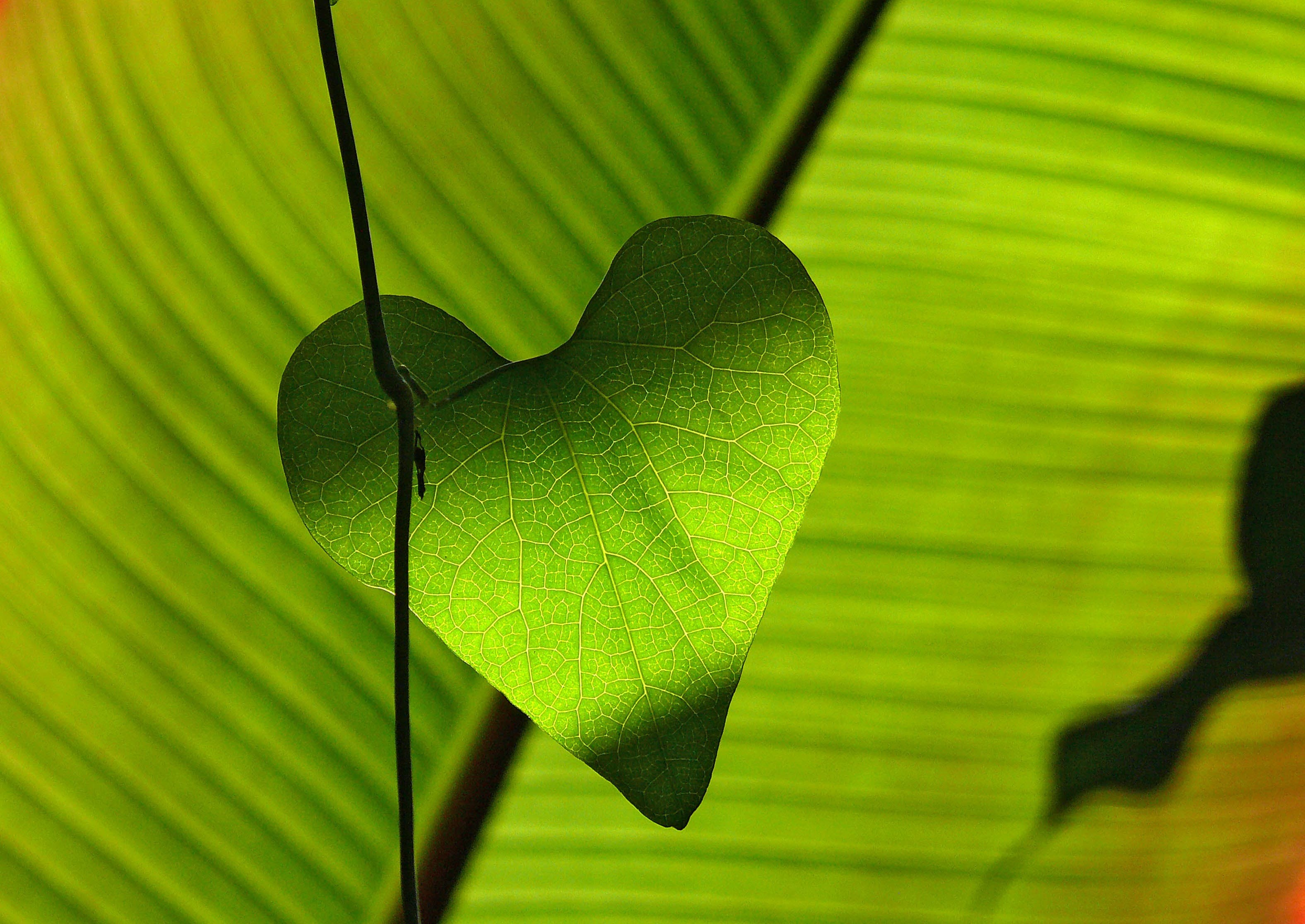 Green Heart Shape Leaf