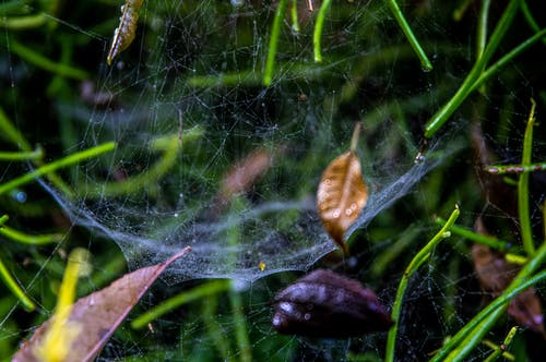Spider on Web with Dry Leaves