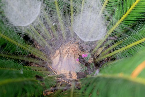 Sago Palm with Spider Web