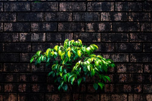 Green Leaves on Dirty Brick Wall