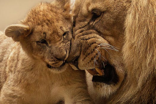 Adult Lion Playing With Lion Cub