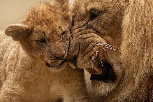 Kostenloses Stock Foto zu tier, niedlich, pelz, afrika