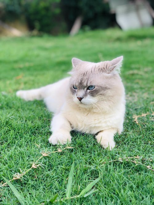 White and Gray Cat on Green Grass
