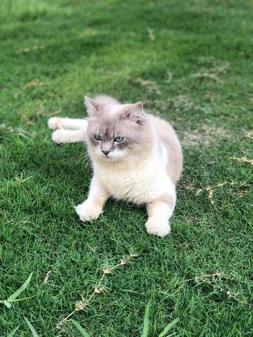 White and Gray Cat on Green Grass Field