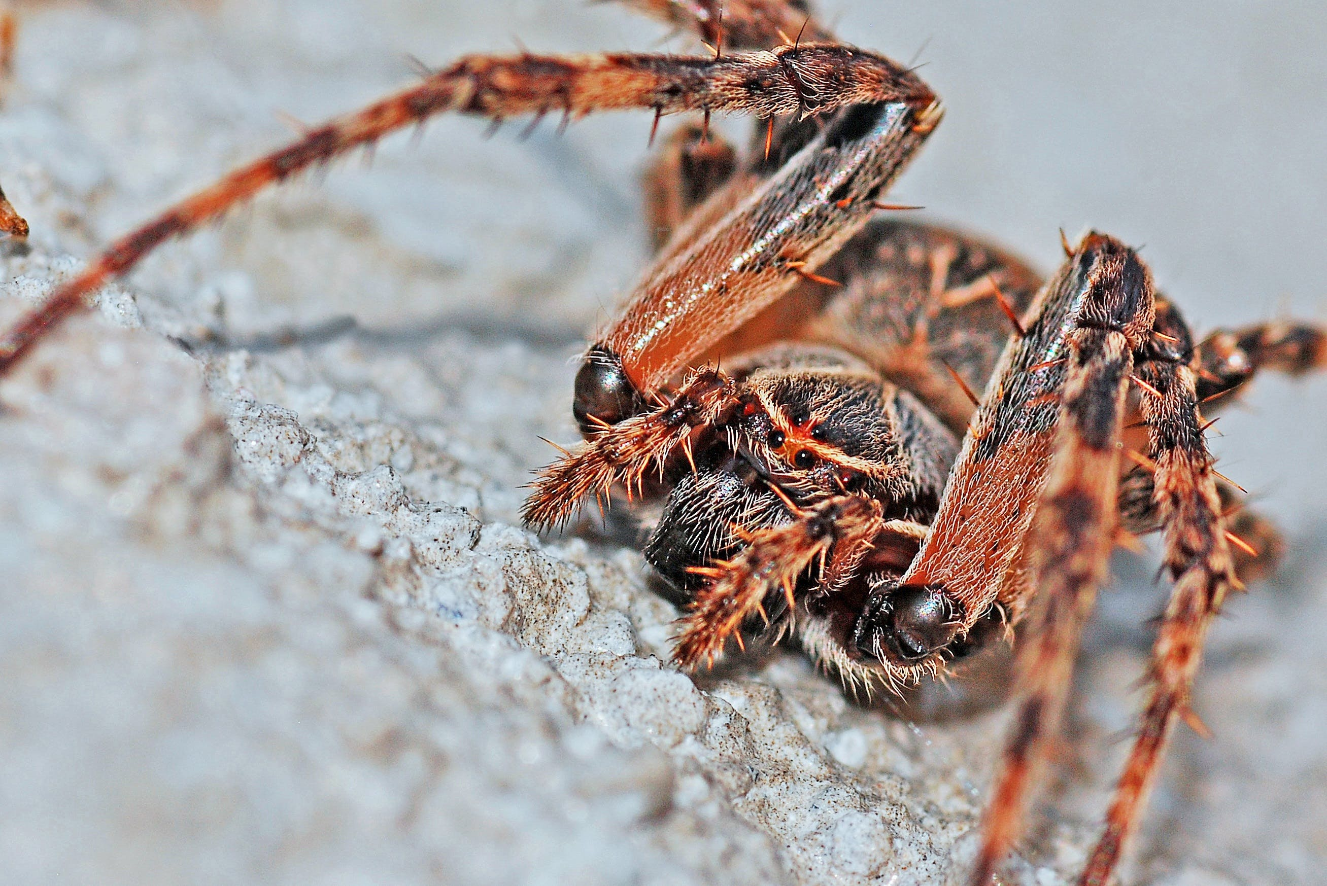 Základová fotografie zdarma na téma makro, pavouk, pavoukovec, zblízka