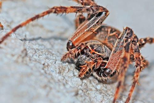 Kostnadsfri bild av makro, närbild, Spindel, spindlar