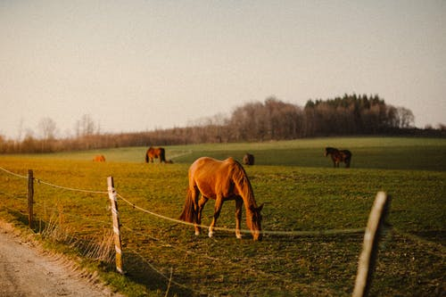 Horses pasturing on green meadow during sundown