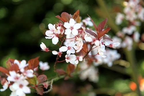 Free stock photo of arbre, arbre en fleurs, fleurs de printemps