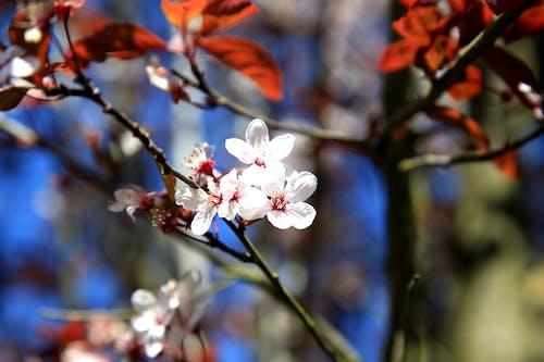 Free stock photo of arbre, arbre en fleur, belle fleur