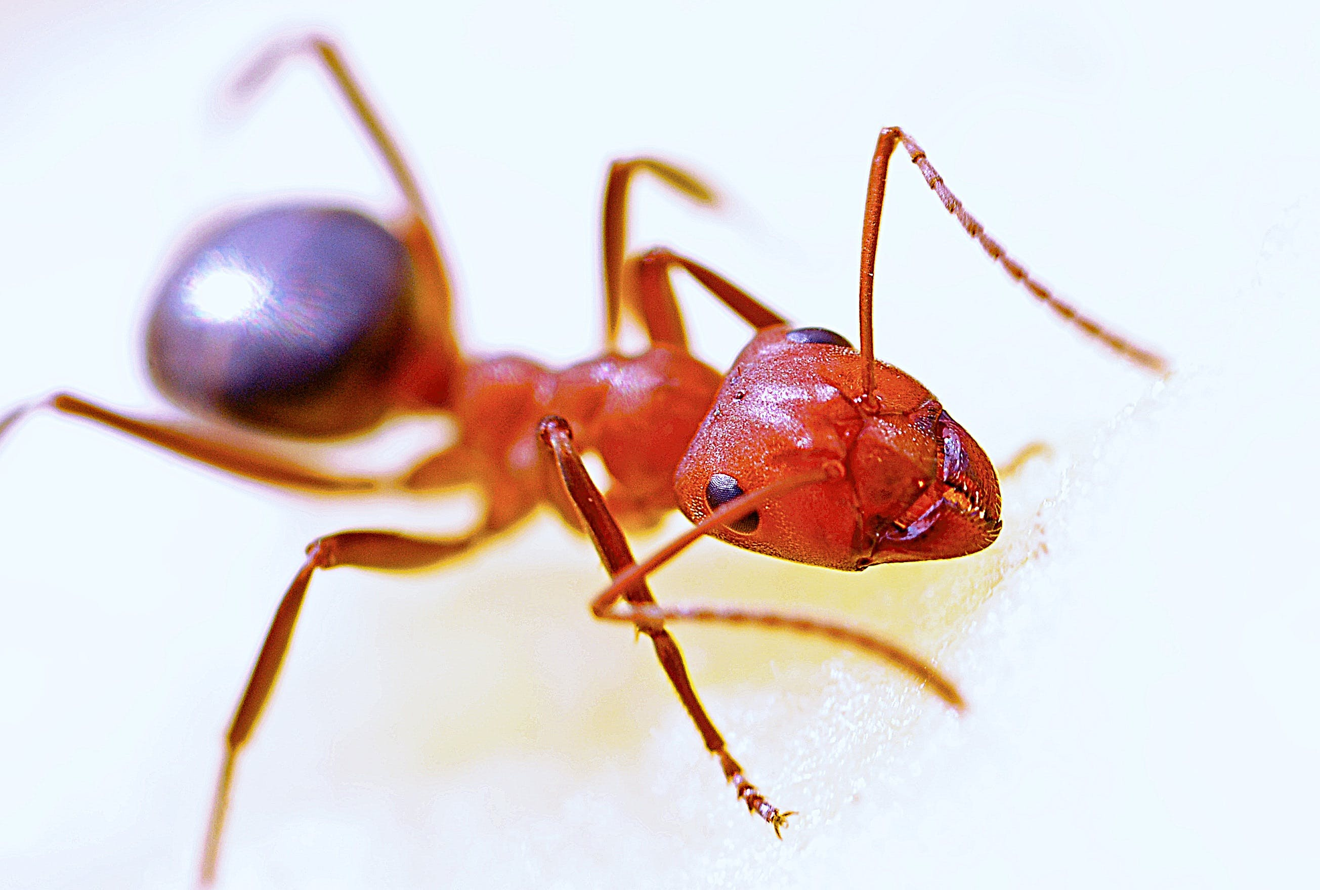 Red Fire Ant in Close-up Photography