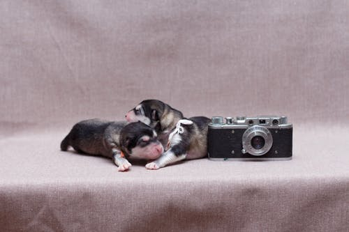 Black and Brown Short Coated Puppies Lying on Brown Textile Near Camera