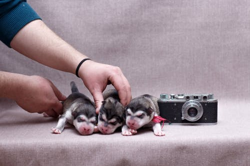 Crop anonymous person with adorable purebred puppies on gray fabric with old photo camera in studio