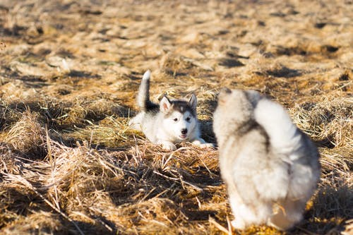 White and Black Siberian Husky Puppy on Brown Dried Grass