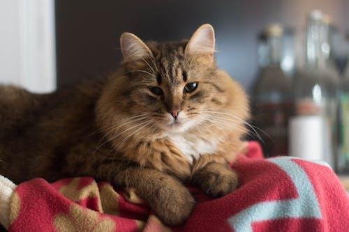 가정의, 고양이, 고양이 얼굴의 무료 스톡 사진