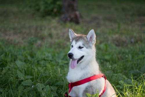 White and Brown Siberian Husky Dog on Green Grass Field