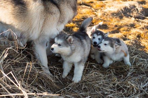 Immagine gratuita di adorabile, alla ricerca, animale domestico, animali