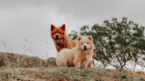 Brown Furry Dogs with Tongues Out