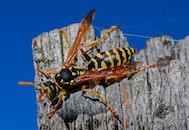 nature, animal, bee