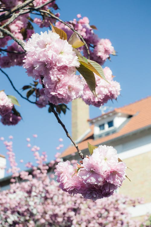 Free stock photo of beautiful flowers, blooming flowers, cherry blossom