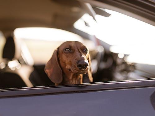 Brown Dachshund in a Car