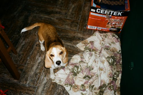 Brown and White Beagle Stepping on White and Purple Floral Textile on the Floor