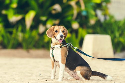 Tricolor Beagle on White Sand