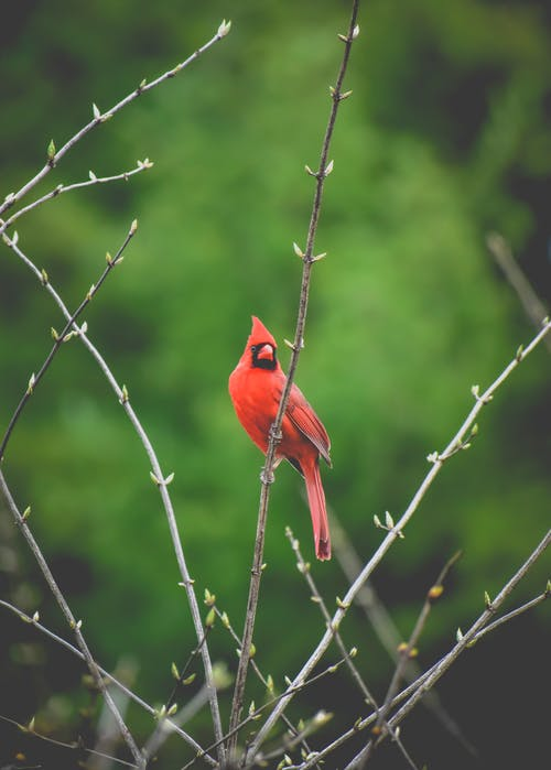Red Cardinal Bird Perched on Brown Tree Branch