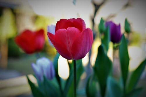 Kostenloses Stock Foto zu tulpen