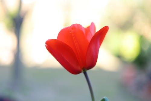 Kostenloses Stock Foto zu tulpe