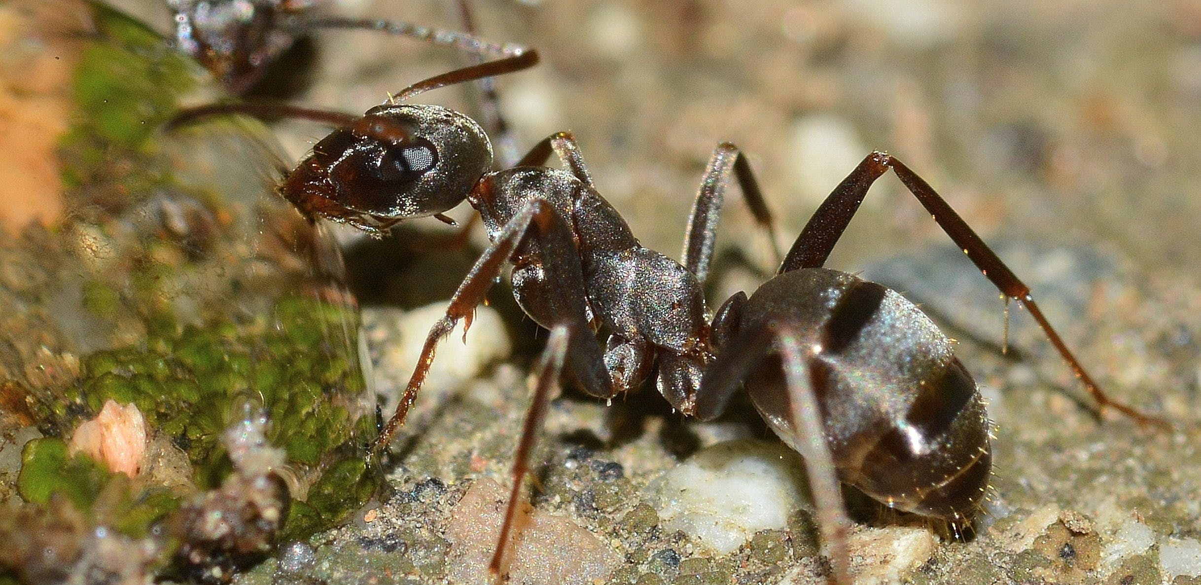 ant, close-up, insects