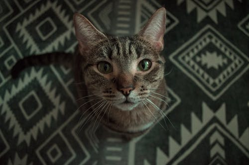 Tabby Cat on Black and White Textile