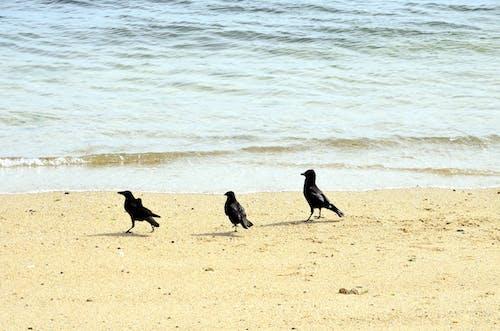 Photos gratuites de animalier, animaux sauvages, corbeaux, oiseau nord