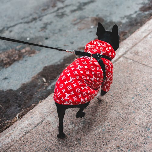 Boston Terrier Wearing Red Clothes