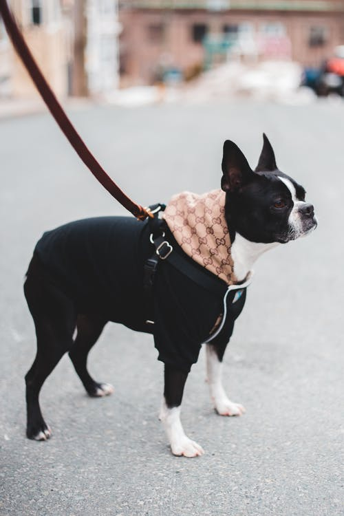 Black and White Short Coated Dog With Brown Leather Leash