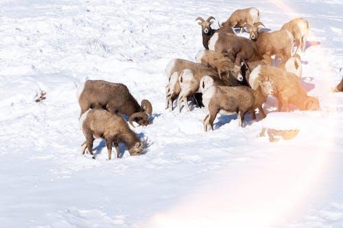 Free stock photo of animals, goat, herd