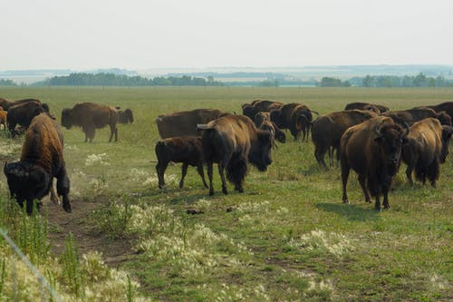 Brown Bison on Green Grass Field