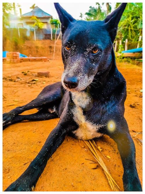 Ingyenes stockfotó állatok és háziállatok, aranyos kutya, fekete, fekete kutya témában