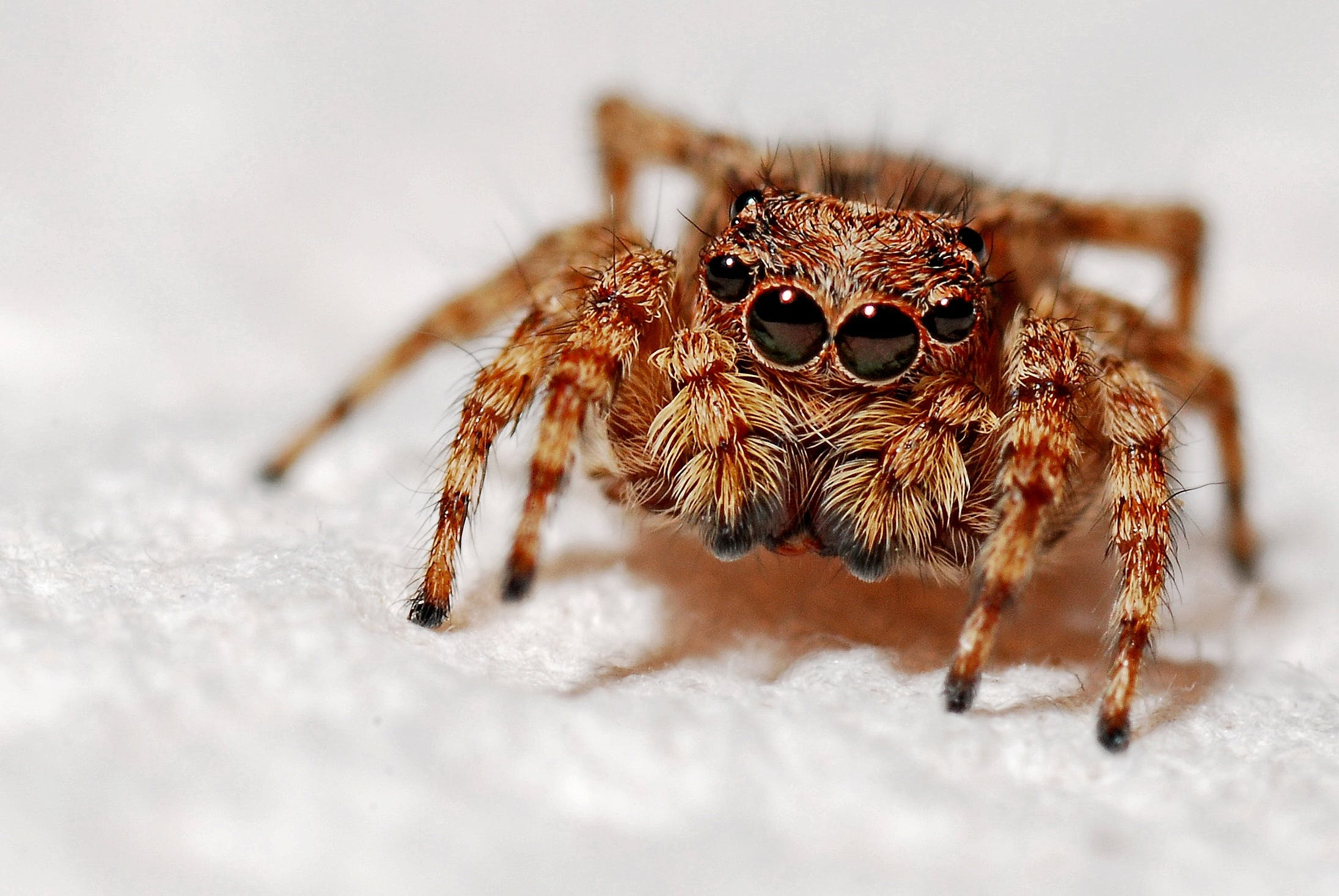 Selective Focus Photography of Brown and Black Jumping Spider on White Textile