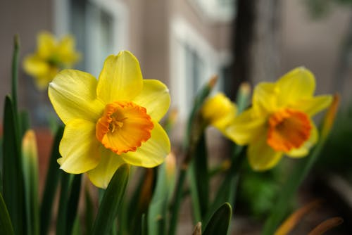 Yellow Daffodils in Bloom