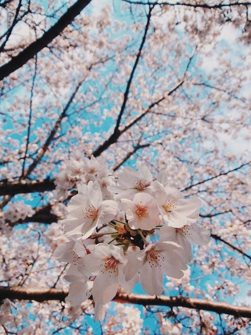 Kostnadsfri bild av Asien, asien blomma, blå, blå himmel