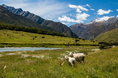 Herd of Sheep on Green Grass Field Near Mountain Under Blue Sky